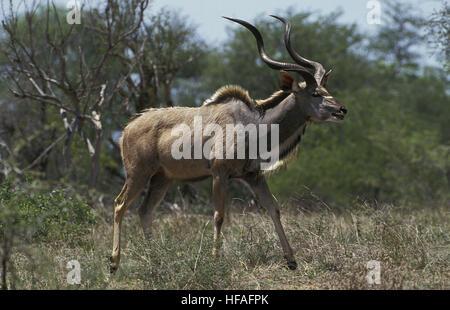 Greater Kudu,  tragelaphus strepsiceros, Male, Kenya - Stock Photo