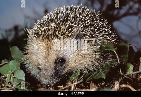 European Hedgehog,   erinaceus europaeus - Stock Photo