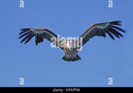 Eurasian Griffon Vulture,  gyps fulvus, Adult in Flight - Stock Photo
