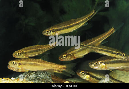 Minnow, phoxinus phoxinus - Stock Photo