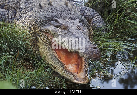 Australian Saltwater Crocodile or Estuarine Crocodile, crocodylus porosus, Adult with Open Mouth Regulating Body - Stock Photo