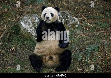 Giant Panda, ailuropoda melanoleuca, Wolong Reserve in China - Stock Photo
