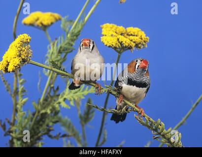 Zebra Finch,   taeniopygia guttata, Pair - Stock Photo
