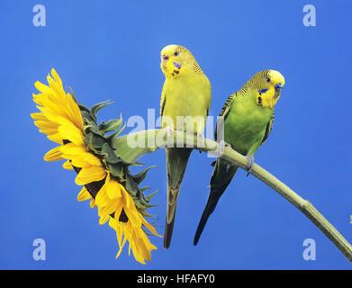 Budgerigar,  melopsittacus undulatus, Pair standing on Sunflower - Stock Photo