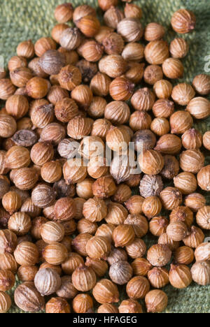 Coriander seeds Coriandrum sativum, aka cilantro or Chinese parsley, dried seeds in husks, picked ready to use - Stock Photo