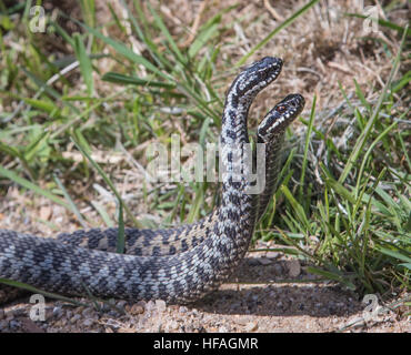 Male Adders Dancing / Fighting. ( Vipera berus ) Entangled in Each Other. 4K - Stock Photo