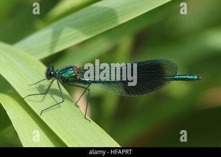 A male Banded Demoiselle (Calopteryx splendens ) dragonfly perched on a reed. - Stock Photo