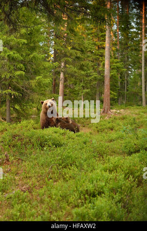 Brown bear suckling cubs in forest. Bear breastfeeding cubs. - Stock Photo