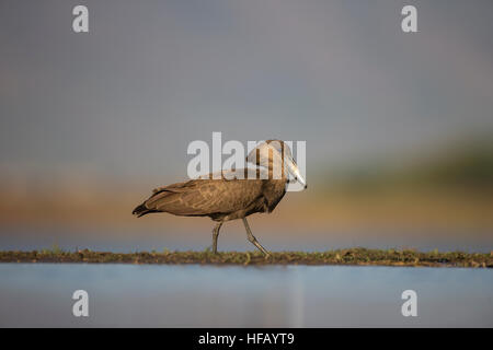 Hamerkop bird Scopus umbretta close up in profile on the edge of a shallow pond - Stock Photo