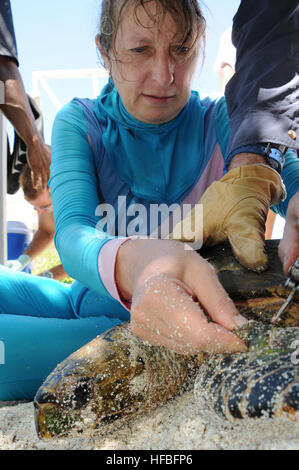DIEGO GARCIA, British Indian Ocean Territory (Oct. 16, 2012) Dr. Jeanne A. Mortimer, a marine biologist, removes - Stock Photo