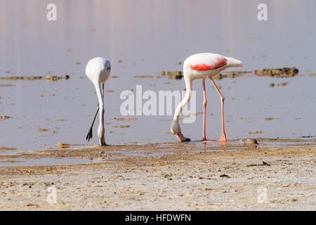 Chick and adult flamingo . Larnaca Salt Lake, Cyprus.