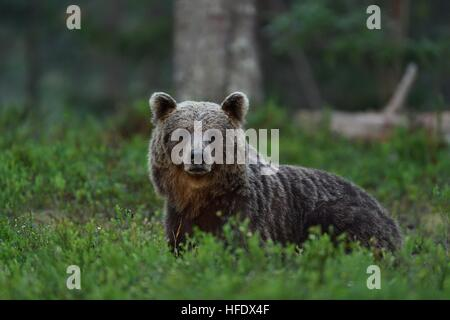 brown bear in forest at night. bear glance. wild animal. animal at night. - Stock Photo