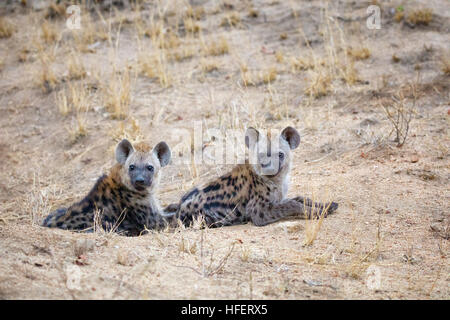 To young spotted hyena cubs emerge from their den. Kruger National Park, South Africa. - Stock Photo