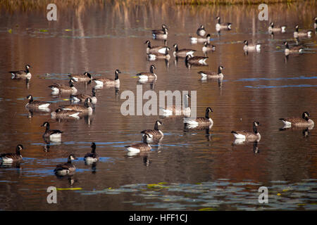 A flock of Canada Geese, Branta Canadensis, pause on Hanno Pond in Lisbon, New Hampshire, USA during their Fall - Stock Photo