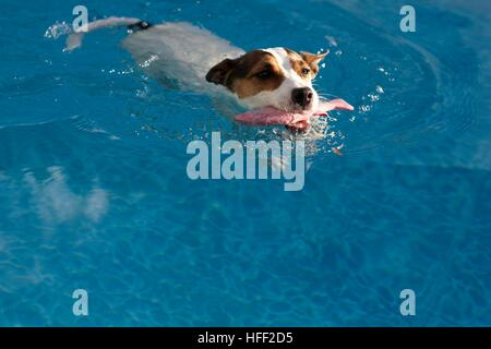 Dog swimming in swimming pool carrying a toy fish in her mouth on a sunny afternoon - Stock Photo