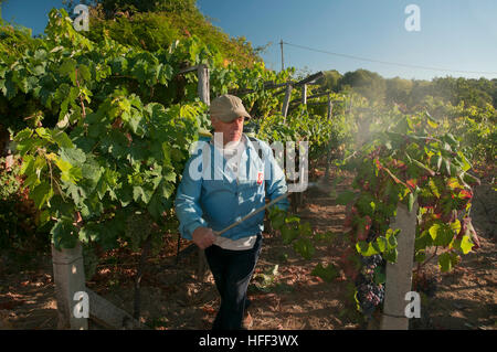 A farmer working in a vineyard, Celanova, Orense province, Region of Galicia, Spain, Europe - Stock Photo