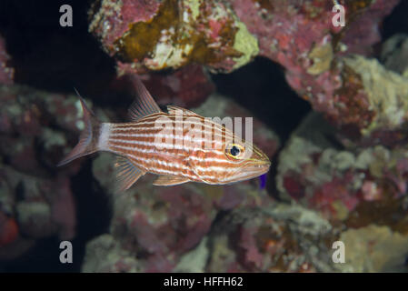 Largetoothed Cardinalfish, Pacific tiger cardinalfish or Big-toothed cardinal (Cheilodipterus macrodon) against - Stock Photo