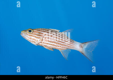 Largetoothed Cardinalfish, Pacific tiger cardinalfish or Big-toothed cardinal (Cheilodipterus macrodon) on blue - Stock Photo