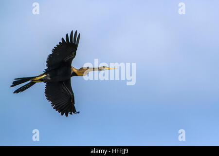 Oriental darter  flying isolated in blue sky ; specie Anhinga melanogaster  family of Anhingidae - Stock Photo
