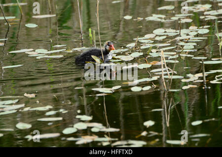 chicks coots swimming in search of food - Stock Photo