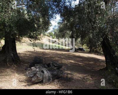An olive grove near Karousades, Corfu, Greece with nets ready for harvest - Stock Photo