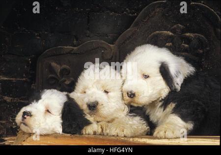 Domestic Dog Old English Sheepdog Elderly Adult Female And Young Stock Photo 49032570 Alamy