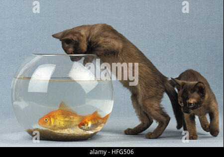 Zibeline Burmese Domestic Kitten and Goldfishes, carassius auratus - Stock Photo