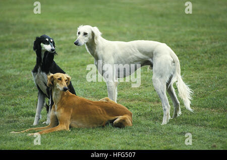 Saluki Dog standing on Lawn - Stock Photo