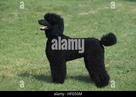 Black Giant Poodle, Adult standing on Lawn - Stock Photo