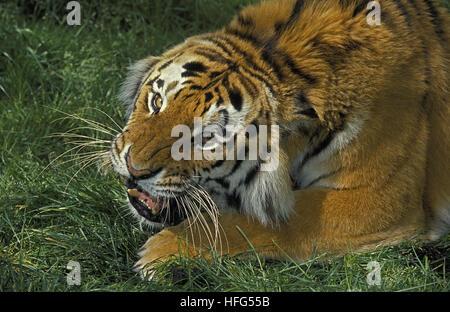 Siberian Tiger,  panthera tigris altaica, Adult Snarling - Stock Photo