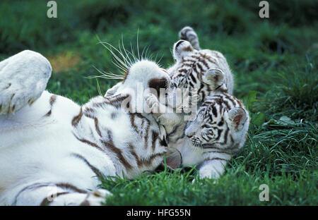White Tiger,  panthera tigris, Mother and Cub - Stock Photo