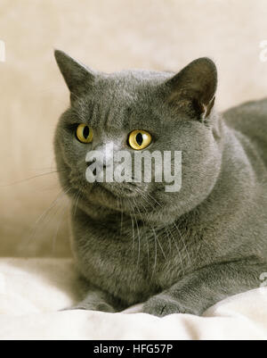 Blue British Shorthair Domestic Cat, Portrait of Adult - Stock Photo