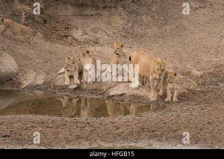 Pride of lions at waterhole in Masai Mara - Stock Photo