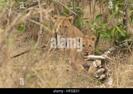 Two Lion cubs looking - Stock Photo