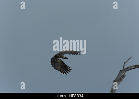 White-backed vulture in flight approaching tree branch - Stock Photo