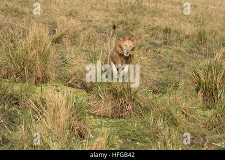 Maned male lion jumping in grass - Stock Photo