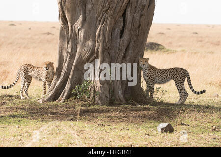 Cheetah mother and cub alongside strangler fig tree - Stock Photo