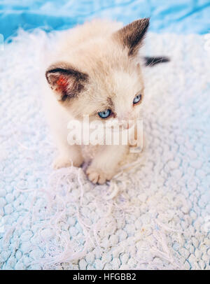 Baby siamese cat over a white carpet - Stock Photo