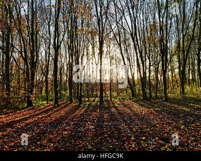 An autumn sunrise and light from a low sun filters through a group of tall trees, casting long shadows on the leaf - Stock Photo
