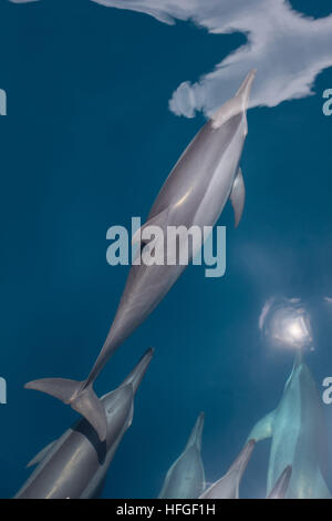 Spinner dolphins (Stenella longirostris) cruise in the tropical Pacific Ocean. These cetaceans are known for their - Stock Photo