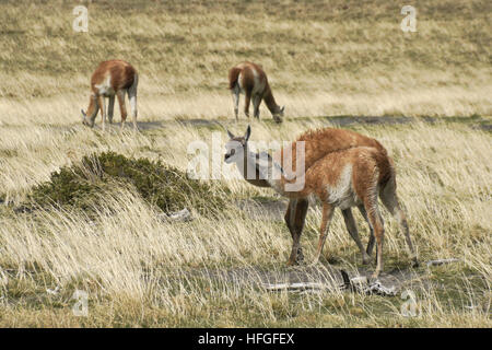 Young guanaco bites its mother, wanting to nurse, Torres del Paine NP, Patagonia, Chile - Stock Photo