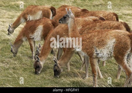 Guanacos grazing in Torres del Paine NP, Patagonia, Chile - Stock Photo