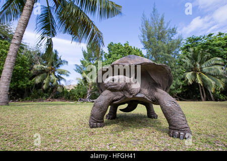 Aldabra Giant Tortoise  at tropical island in Seychelles - Stock Photo