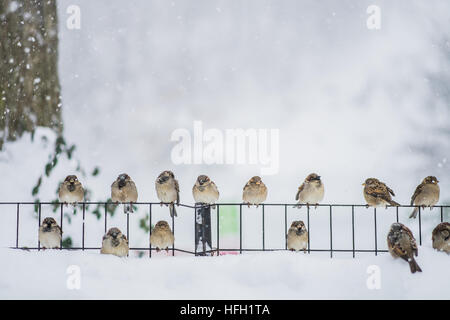 Beijing, New York, USA. 23rd Jan, 2016. Sparrows rest on a fence in Central Park, New York, Jan. 23, 2016. © Li - Stock Photo