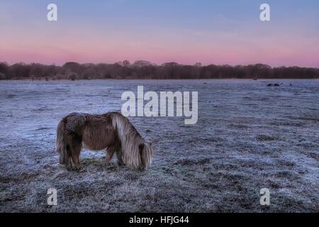 Balmer Lawn with wild roaming pony in sunrise, Brockenhurst, New Forest, Hampshire, England, UK - Stock Photo
