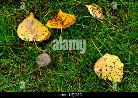 Aspen leaves that have fallen to the ground - Stock Photo