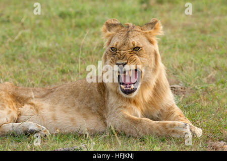 young male lion snarling, Mara Naboisho Conservancy Kenya Africa - Stock Photo