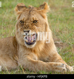 young male lion snarling, close, Mara Naboisho Conservancy Kenya Africa - Stock Photo