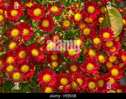 Bright colorful red yellow seasonal flowers in lovely floral pattern and design used for texture backgrounds. - Stock Photo