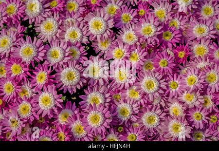 Fresh pink white yellow seasonal flowers in lovely floral pattern and design used for texture backgrounds. - Stock Photo